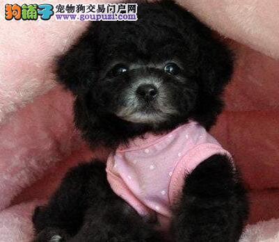 纯种韩国血系长沙泰迪犬转让 可送到家可刷卡可视频