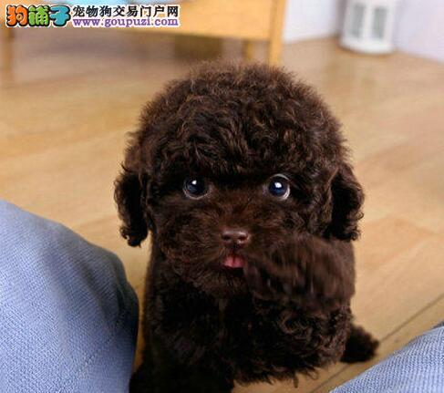 促销价直销韩国血统北京贵宾犬 可代办空运可运输