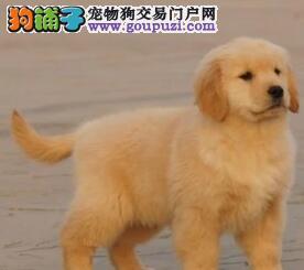 黄金猎犬品相的石家庄金毛犬 建议大家上门选购爱犬图片