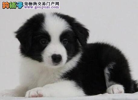 重庆繁育顶级边境牧羊犬七白三通最高智商边牧 包健康