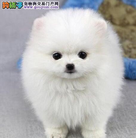 上海售纯种博美幼犬哈多利系博美狐狸犬.签协议保健康图片