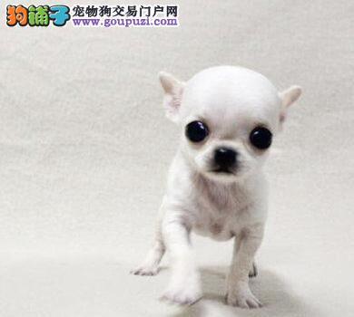 上海吉娃娃专业繁殖基地直销高品质吉娃娃上门选狗
