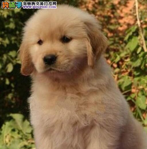 纯种健康 人见人爱的金毛寻回犬 金毛犬 幼犬宝宝