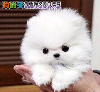 极品优秀哈多利版广州博美犬特价直销 有售后服务图片