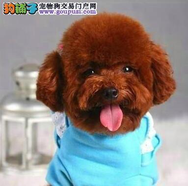 出售纯种健康的昆明泰迪犬 喜欢的朋友上门选购看种犬