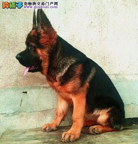 出售纯种带CKU血统的德国牧羊犬宝宝图片
