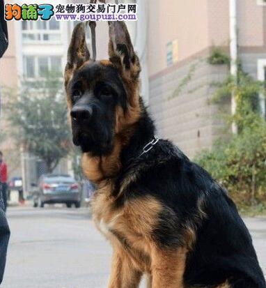 郑州大型犬业促销德国牧羊犬 纯种锤系可送货上门图片