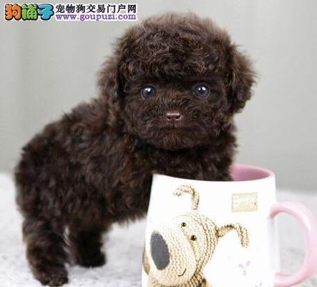 100%实地拍摄纯种北京贵宾犬 品质优秀特价出售中