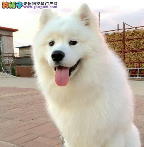 顶级优秀微笑天使萨摩耶西安犬舍低价转让 已做好疫苗