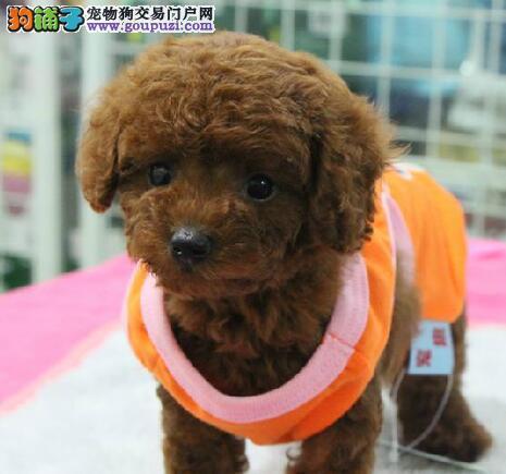 连云港市出售贵宾犬 高品质包纯种 驱虫疫苗已做 优惠