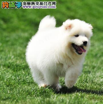 广州实体狗场出售微笑天使般的萨摩耶 可上门挑选哦