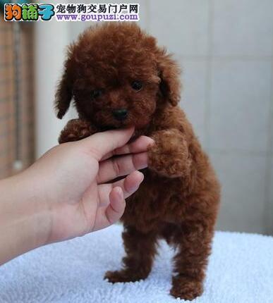 北京出售贵宾犬幼犬纯种健康 签协议 可见父母疫苗齐全