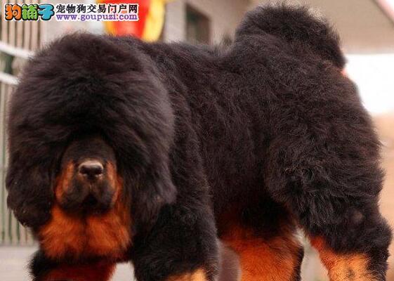 小藏獒宠物狗狗 本基地繁殖的