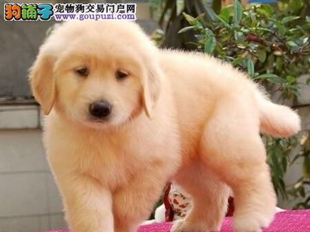 武汉大头宽嘴英系美系金毛幼犬转让终身质保金毛巡回犬图片