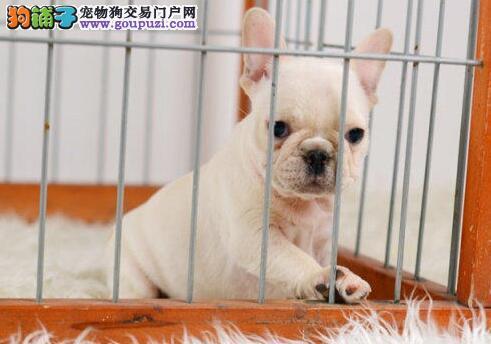 北京大型养殖场直销斗牛犬、带血统带证书、非诚勿扰