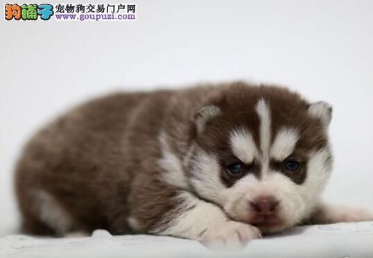 南京纯种蓝眼三火小哈士奇品相好做好疫苗驱虫保健康