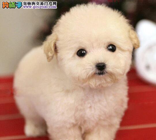 石家庄犬舍繁殖纯种泰迪犬品质保证签协议可视频挑选可换