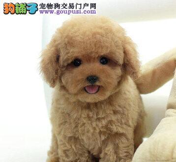 出售聪明伶俐的贵阳泰迪犬 无体味不掉毛 品相极佳图片