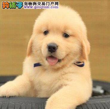 自家繁殖极品金毛犬转让哈尔滨地区可上门看狗