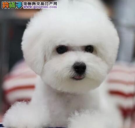 优惠促销超可爱郑州比熊犬驱虫已做包养活