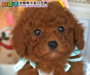 大型实体店直销乌鲁木齐贵宾犬可见父母包纯种