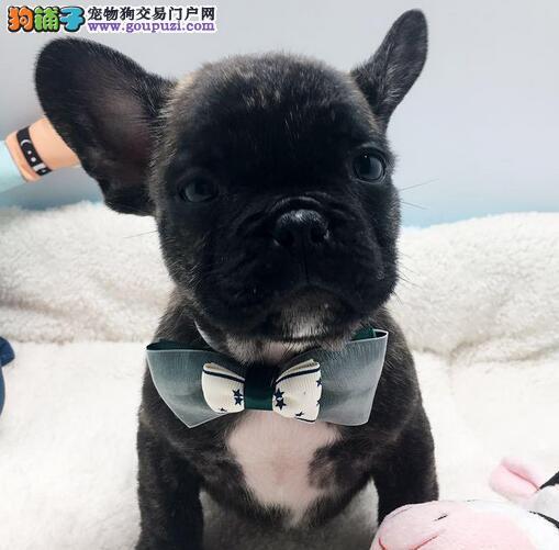 南京犬舍出售纯种斗牛犬花色好驱虫疫苗都已做