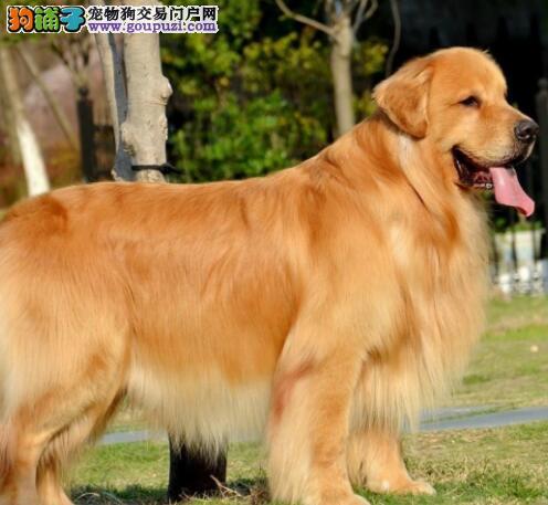 出售爆毛量头版大的南宁金毛犬热卖中 可视频看种犬图片