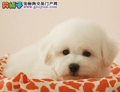 北京售纯种比熊犬 棉花糖白色粉扑幼犬公母全有可挑选图片