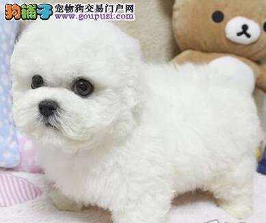 特价出售纯种卷毛成都比熊犬 三个月内有问题可退换