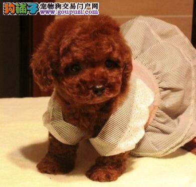 上海售泰迪犬幼犬 卷毛贵妇犬公母全有可挑选