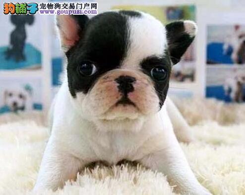 深圳法国斗牛犬幼犬多少钱一只 深圳纯种斗牛犬价钱