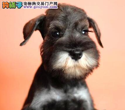 广州世纪犬业出售纯种可爱雪纳瑞幼犬 白黑椒盐色均有图片
