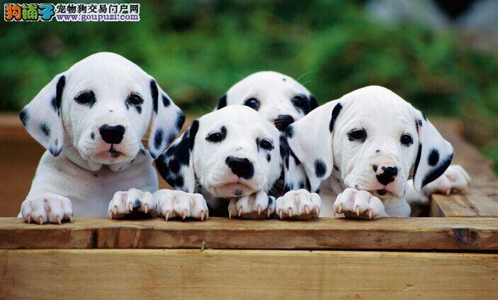 斑点狗求交配,长沙地区最佳!