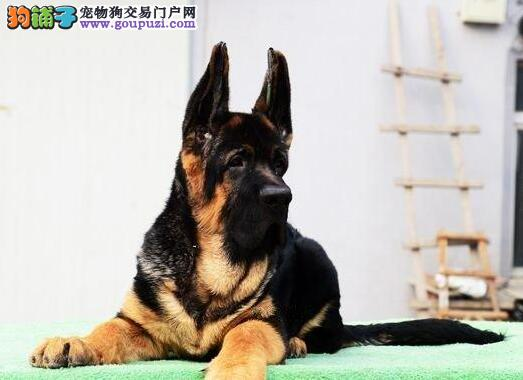 出售顶级济南德国牧羊犬 可以上门看狗 非诚勿扰
