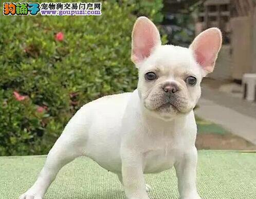 武汉出售法国斗牛犬幼犬品质好有保障全国当天发货