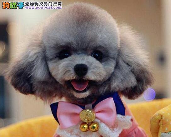 杭州韩系超小体玩具犬泰迪熊宝宝售品质保终身签协议