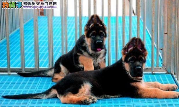 天津头版好结构好德国牧羊犬高品质纯血统德牧狼狗出售