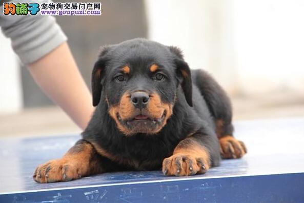 极品纯种罗威纳幼犬 哪里有卖罗威纳 罗威纳好养吗