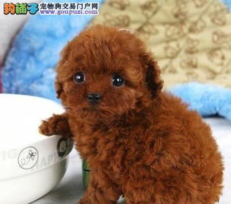 专业养殖基地热销可爱韩系泰迪犬 成都周边可免运费