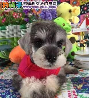 椒盐深灰色的青岛雪纳瑞幼犬 签署终身的质保协议合同