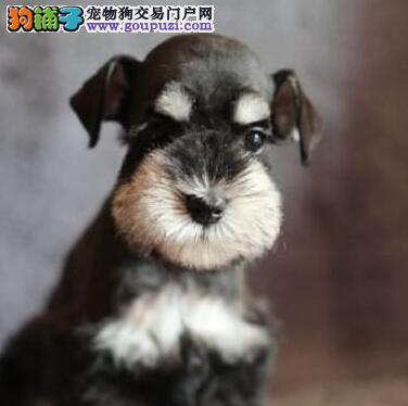 杭州出售让人看着喜爱的小老头雪纳瑞逗你开心逗你乐