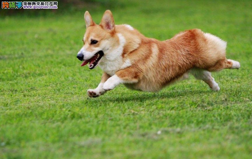 西安养殖场直销柯基犬终身质保 质量三包 可签协议