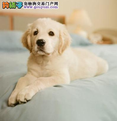 南京狗场活动特价优惠出售金毛犬 带健康血统证书图片