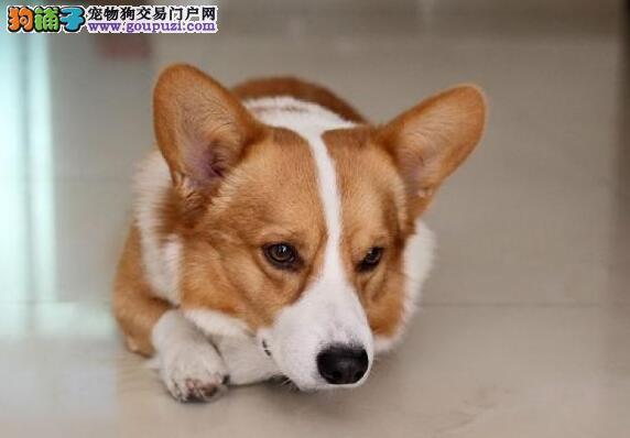 济南顶级三色柯基犬出售 矮脚绅士 电臀精灵