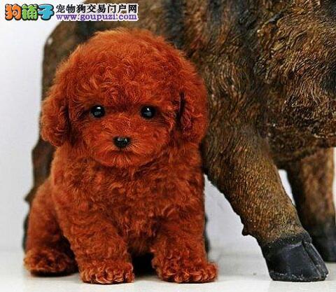直销纯种韩系血统贵宾犬 北京地区有实体店欢迎购买
