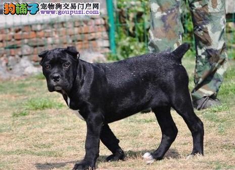 贵阳出售纯种卡斯罗犬 护卫犬的最佳选择 欢迎咨询