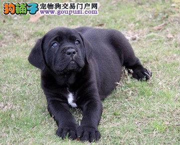 重庆出售纯种意大利护卫犬卡斯罗幼犬