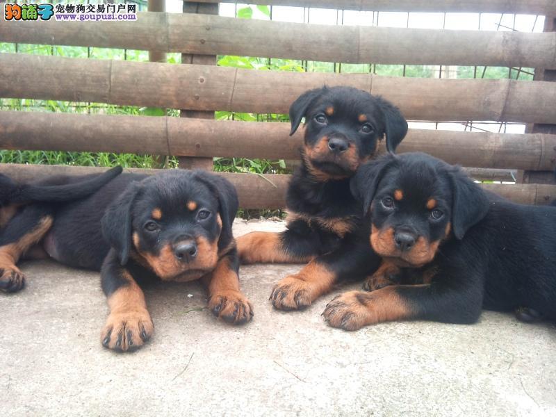 重庆哪里有卖罗威纳罗威纳图片幼犬价格重庆哪里的便宜图片