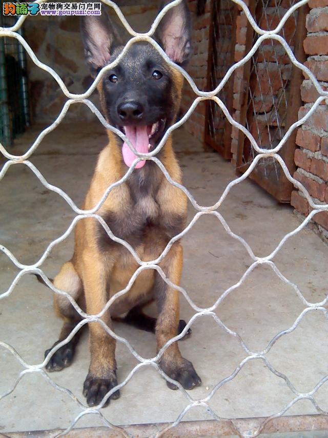 北京养殖场直销马犬 马里努阿犬等幼犬出售