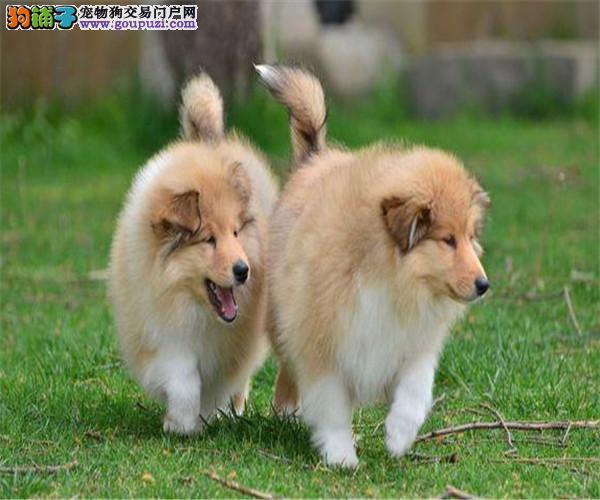 重庆大毛量好品相苏牧 纯种聪明苏格兰牧羊犬出售 健康
